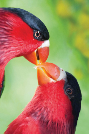 Papua New Guinea is a mecca for bird lovers