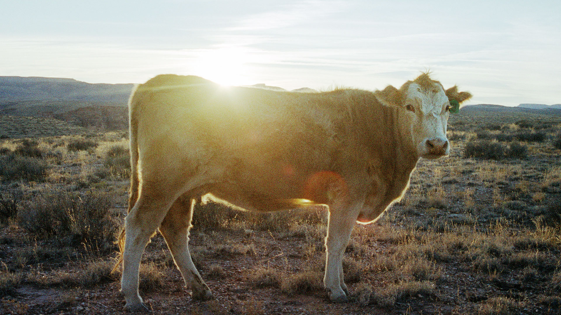 Cow engulfed in a sunny glow while staring at the photographer