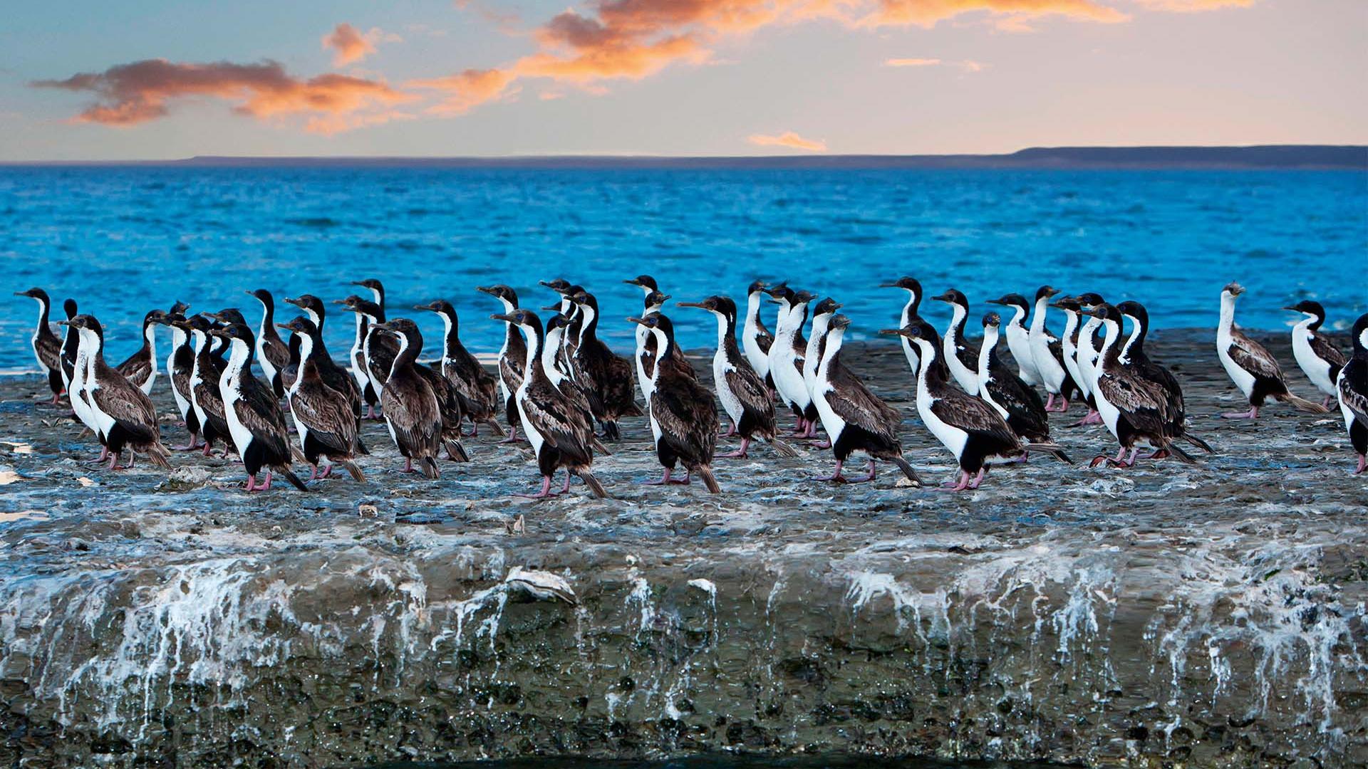Cormorant colony in Chilean Patagonia