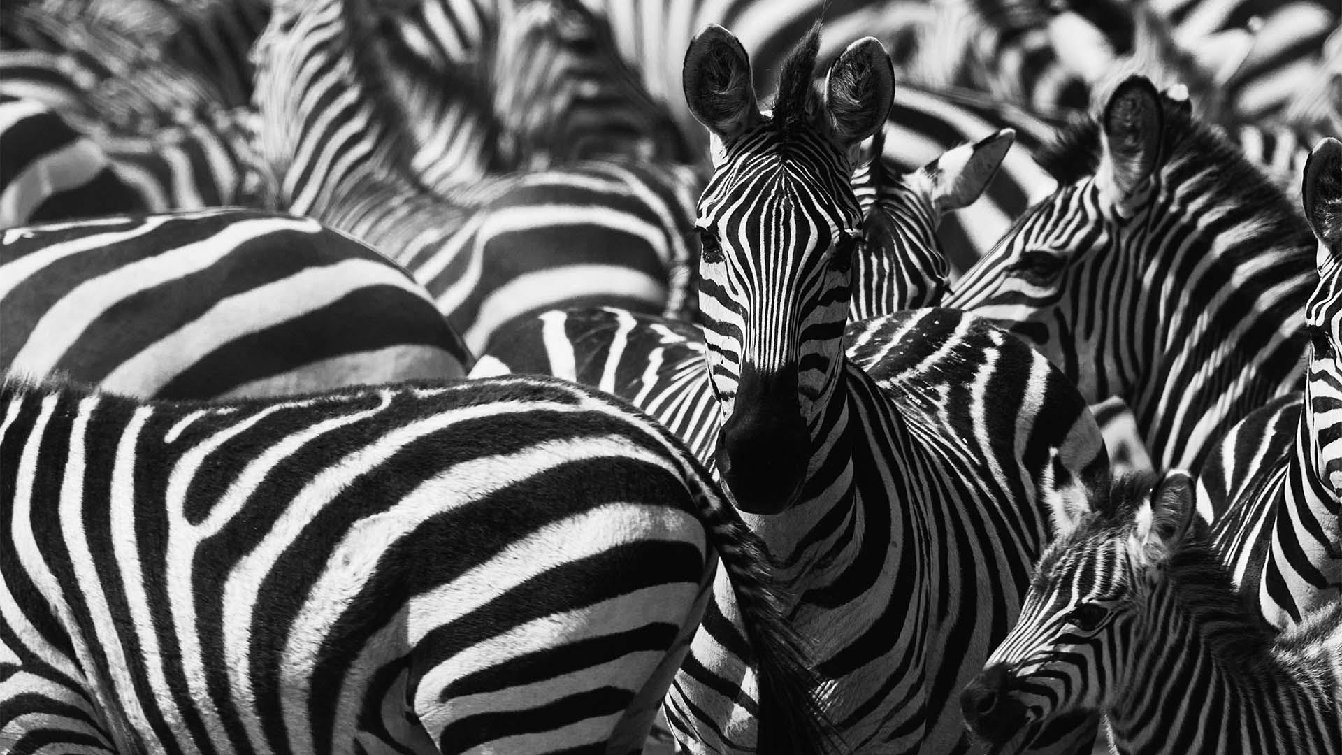 Zebra in the Ngorongoro Crater, Tanzania