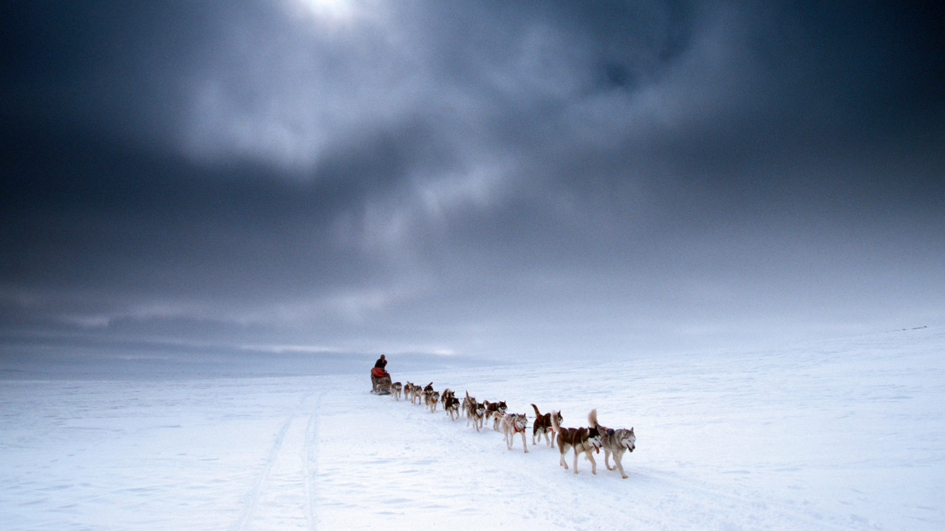 Siberian huskies pull a dogsled across the icy expanses on Nunavik