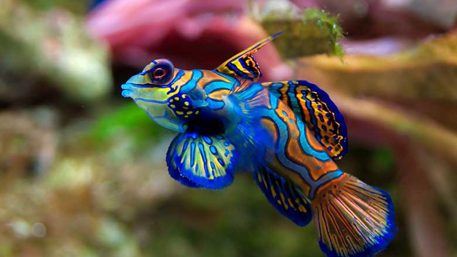 Mandarin-fish-at-palau