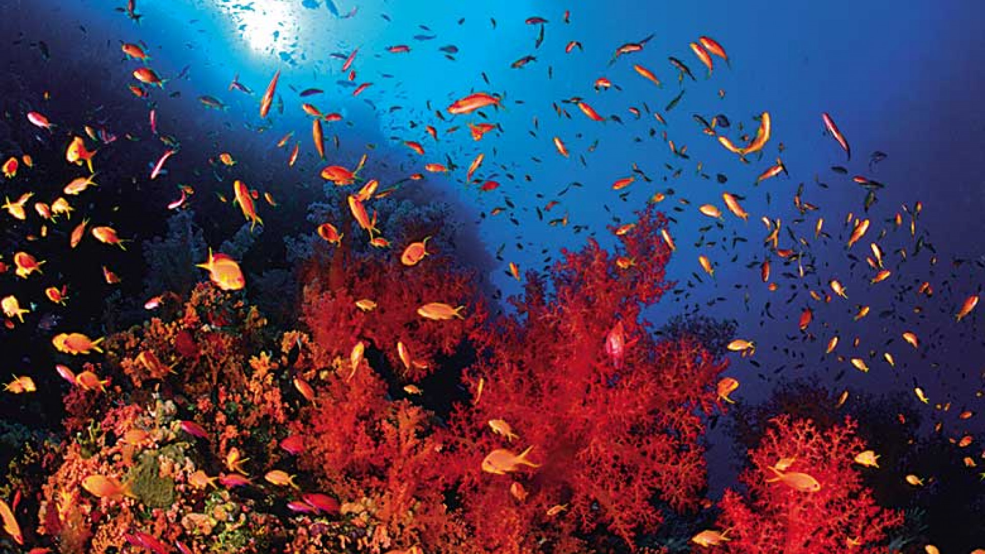 coral-life-in-the-red-sea