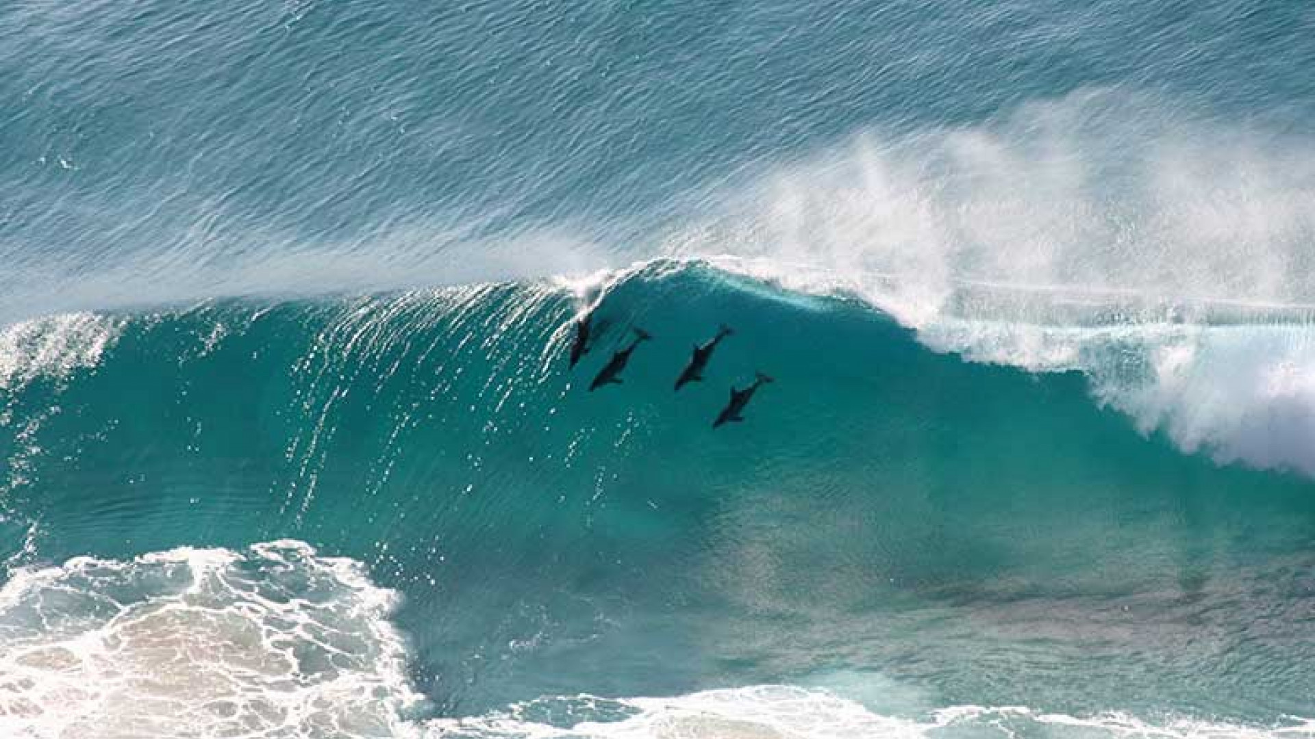 swimming-dolphins