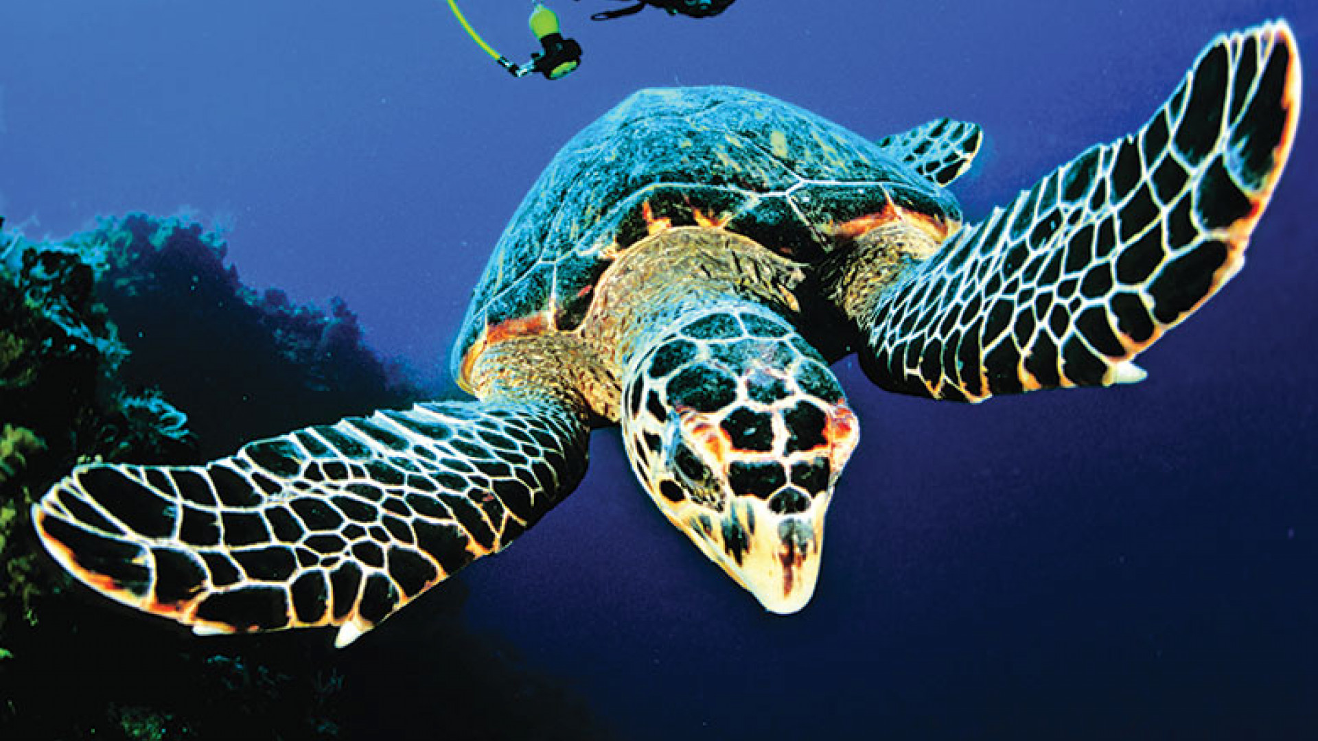 Diving_Turtle