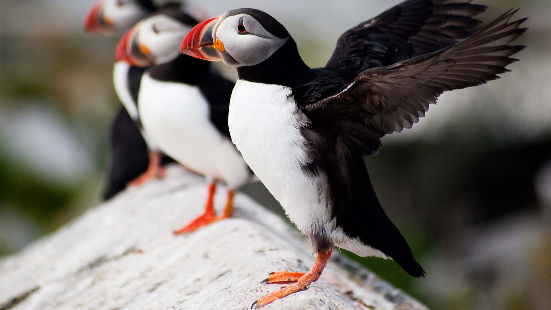 Puffins off the coast of Iceland