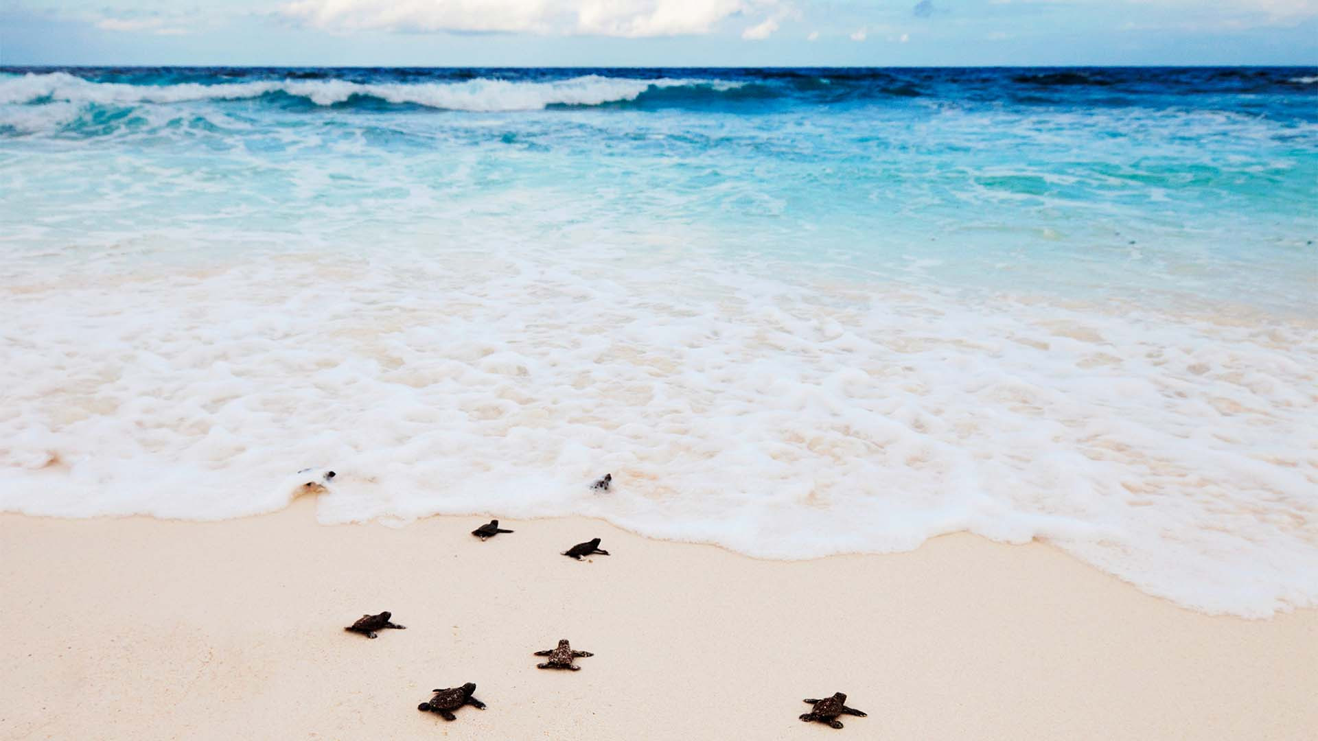 Turtles on the shores of the Seychelles