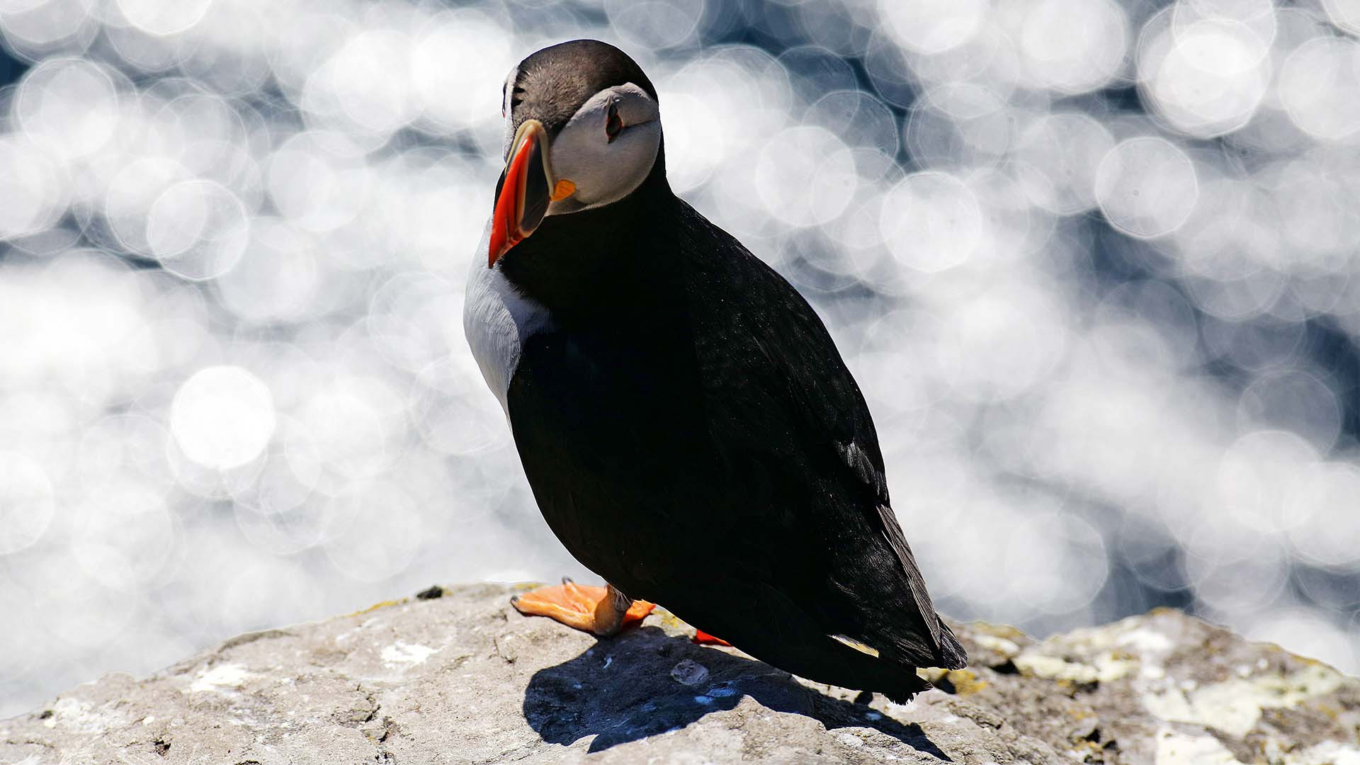 A puffin on the Atlantic coast of Ireland