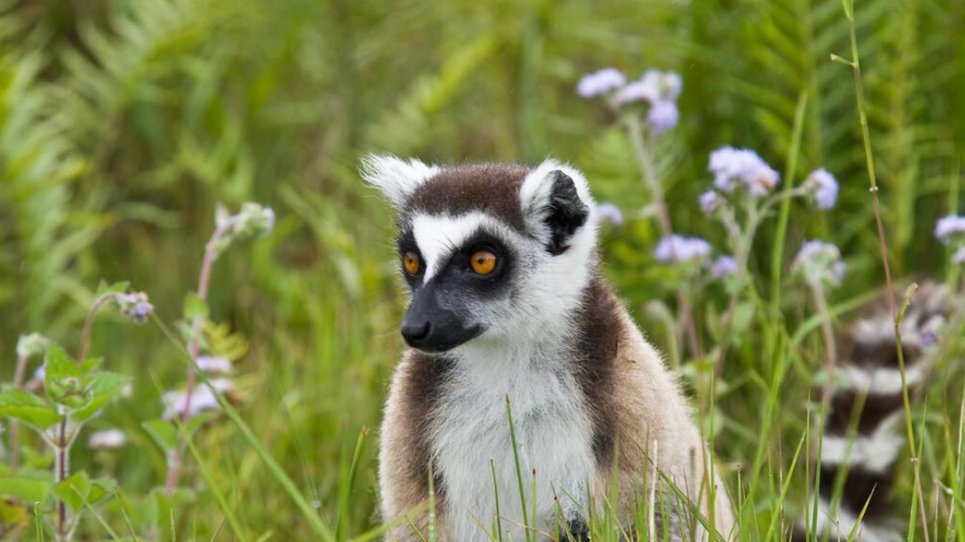 Lemur monkey in Isalo park Madagascar