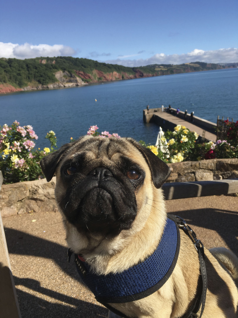 Welly the pug on the Cary Arms terrace