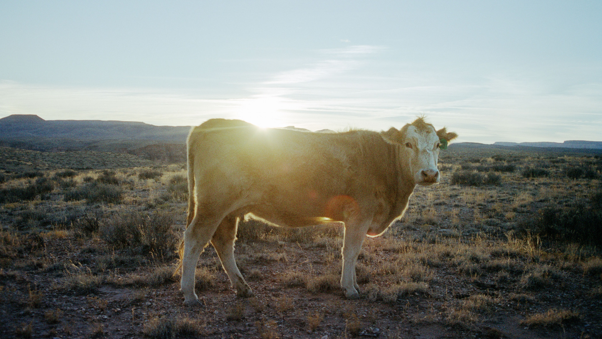 Cow stares at camera as sun sets
