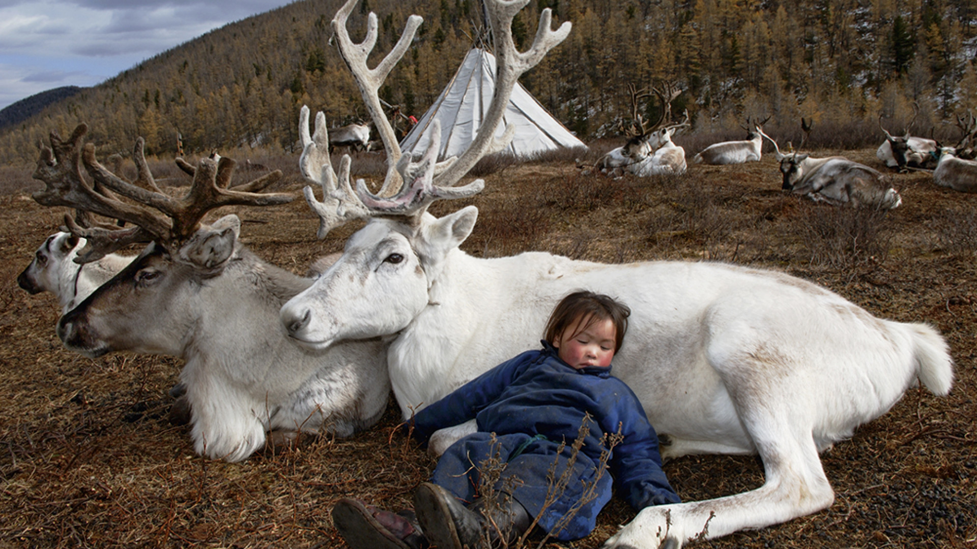 A mongolian child sleeping while leaning against a reindeer