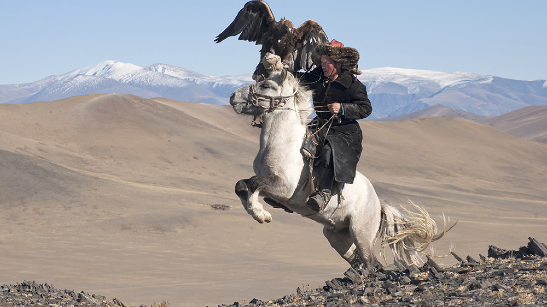 A tribesman catches a falcon while riding a horse in western Mongolia