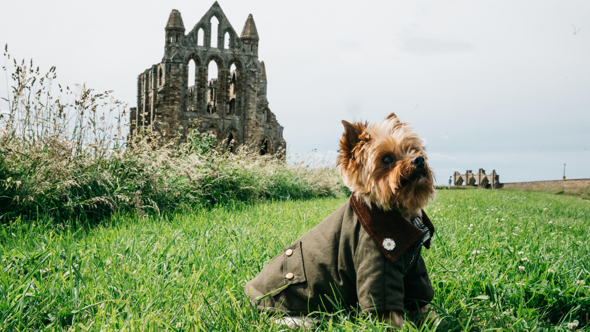 Yorkie in a Barbour jacket outside Whitby Abbey