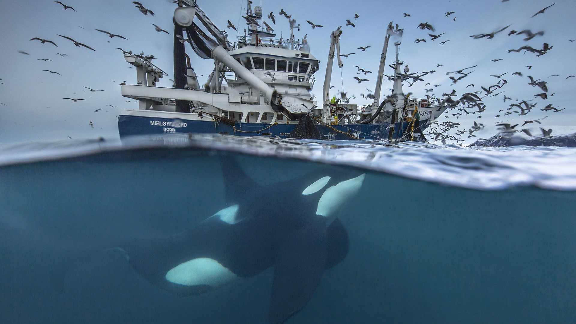 Killer whale chasing fishing boat in arctic Norway
