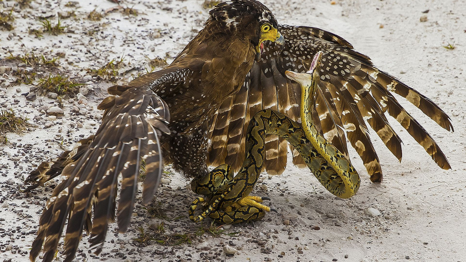Snake and Eagle fighting in Borneo, Malaysia