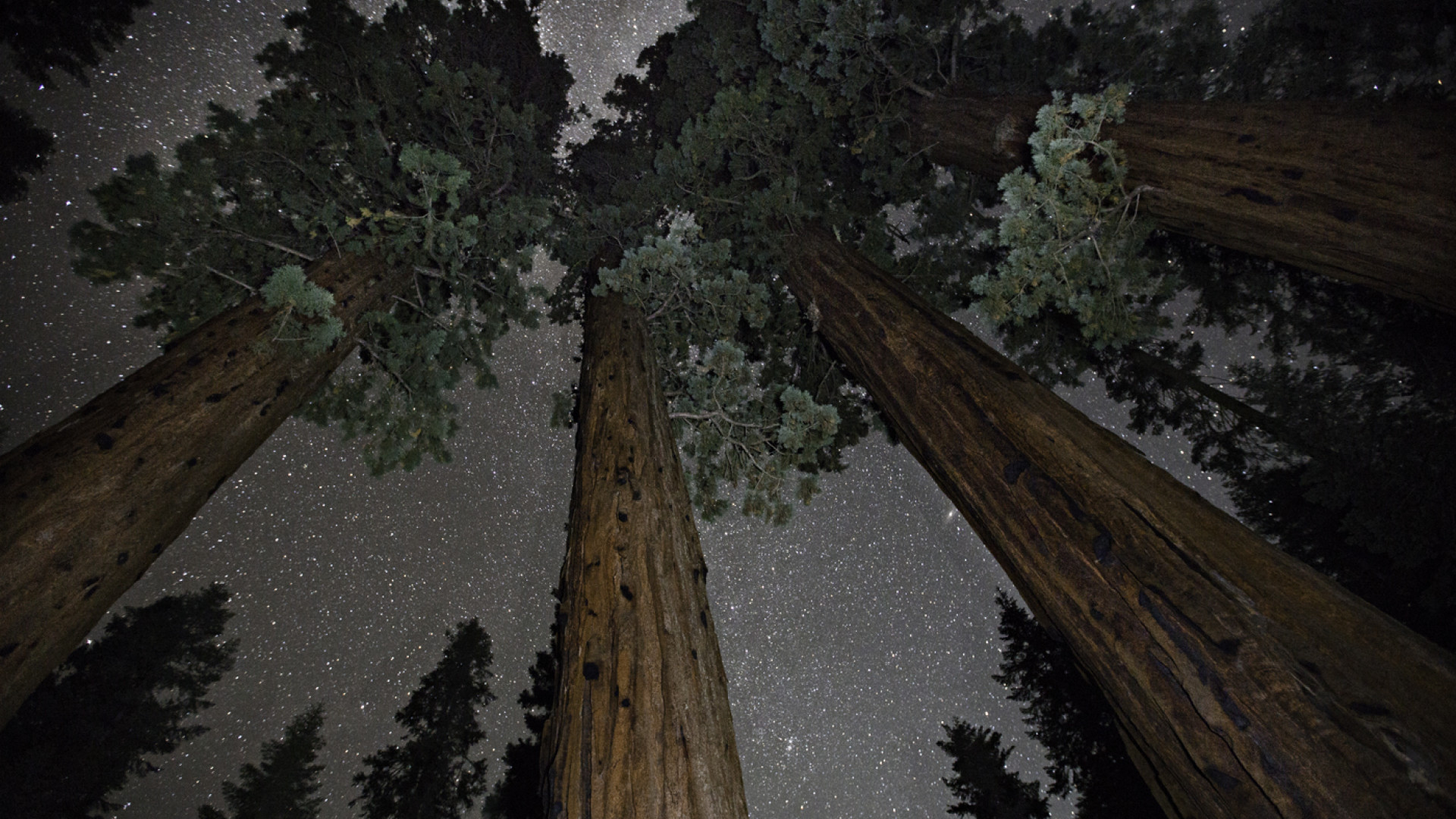 Californian redwood set against night sky