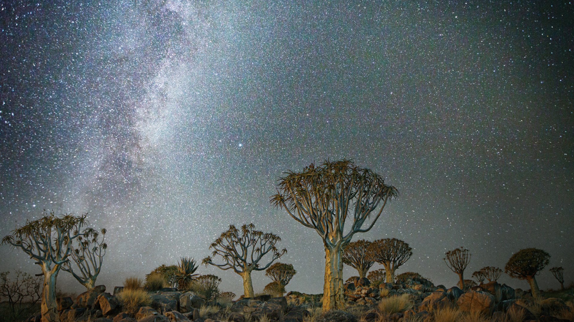 Baobab trees set against starry skies