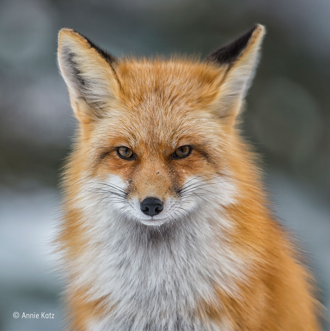 An American red fox looking directly at the camera