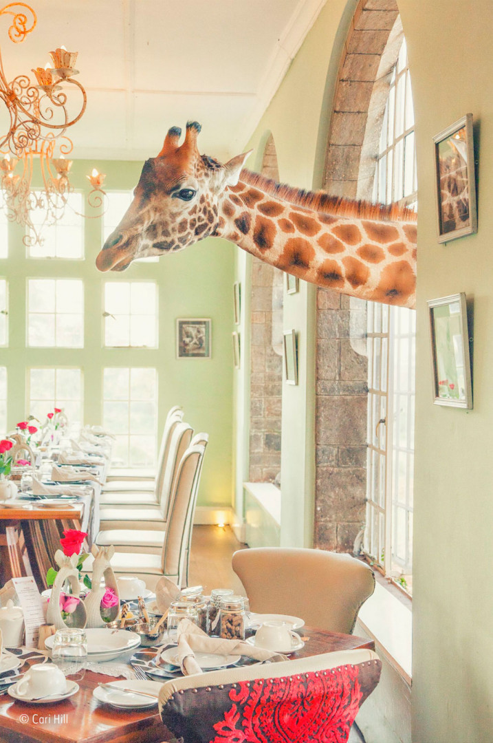 A kenyan giraffe leaning through a window at Giraffe Manor