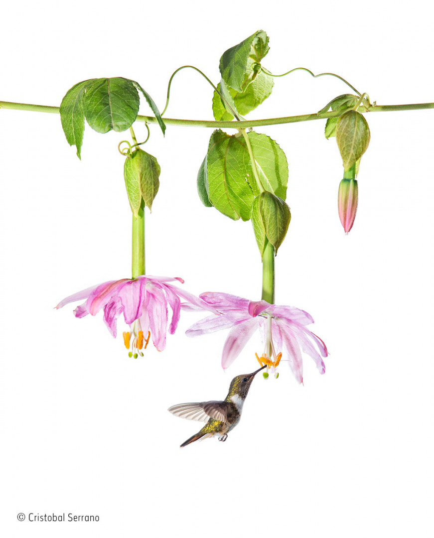 Costa Rican hummingbird feeds on nectar