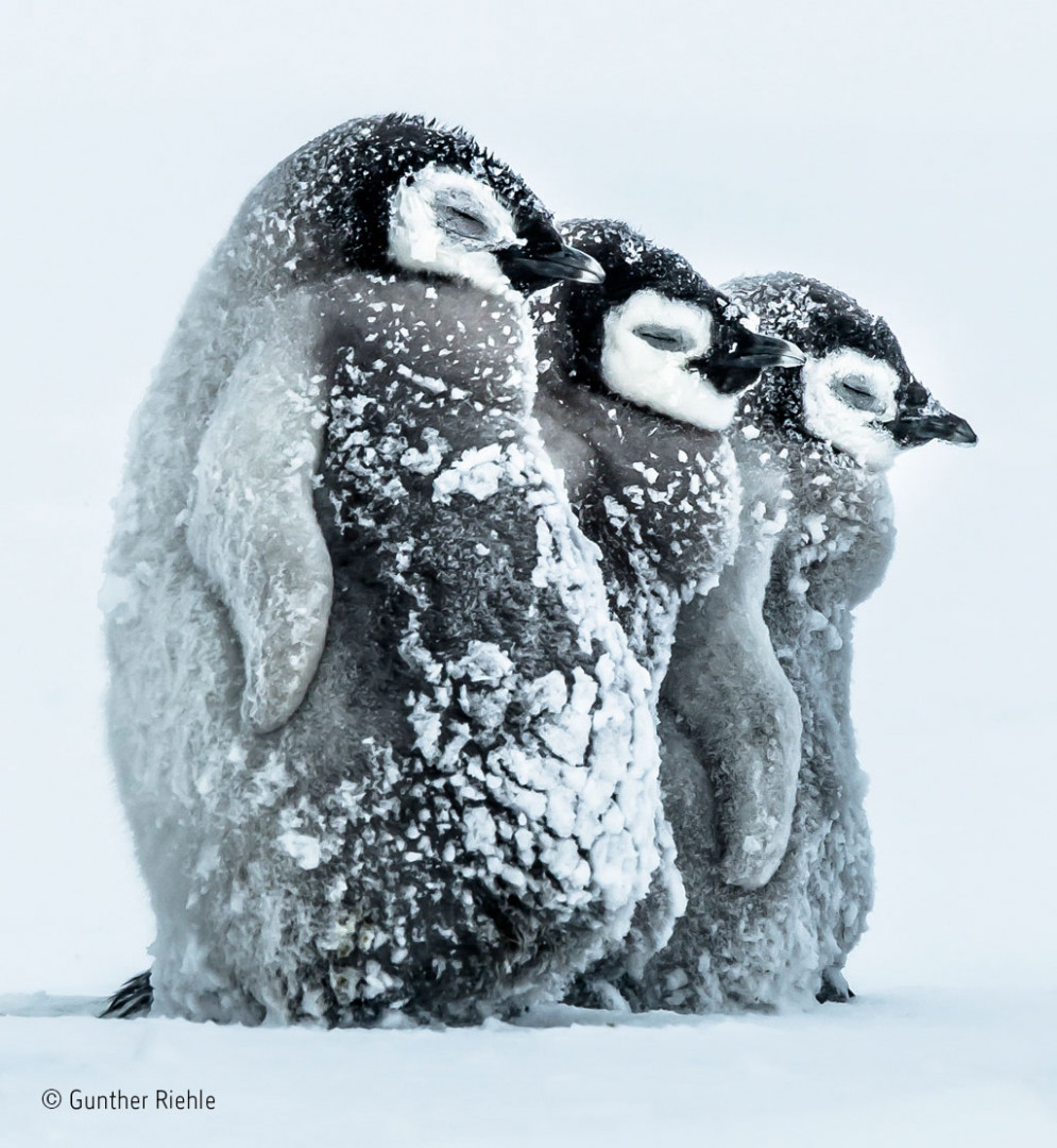 Three penguin chicks face the onslaught of an antarctic snow storm