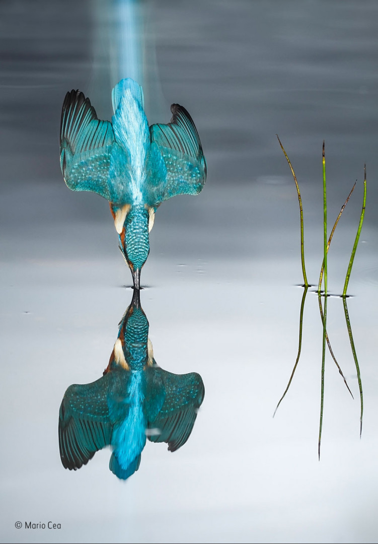 A kingfisher making impact with the surface of a pond