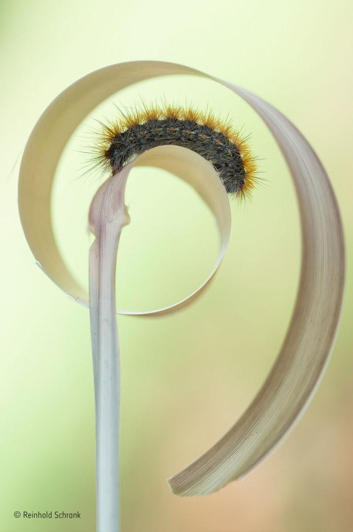 A caterpillar climbs onto a piece of straw in Greece