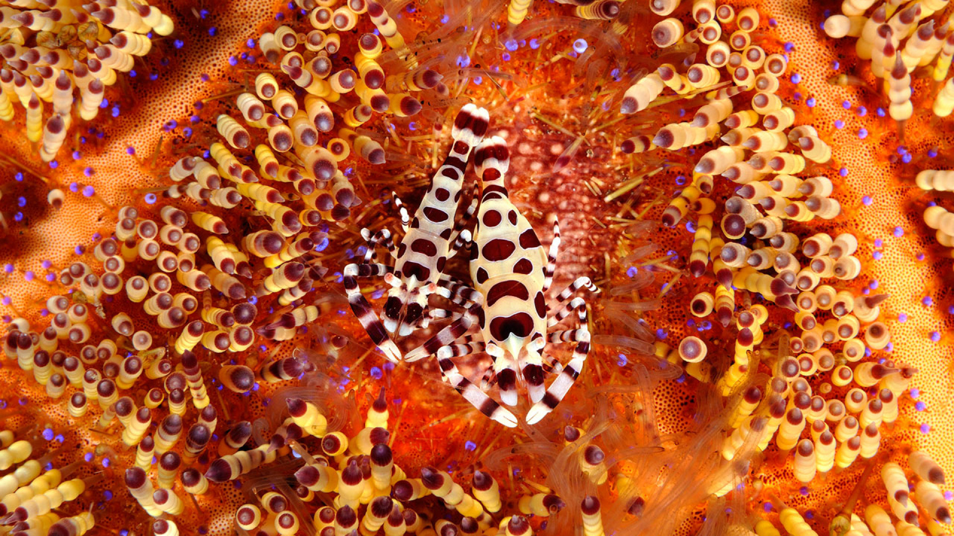 Shrimps evade the poisonous quills of a fire urchin off the island of Bali