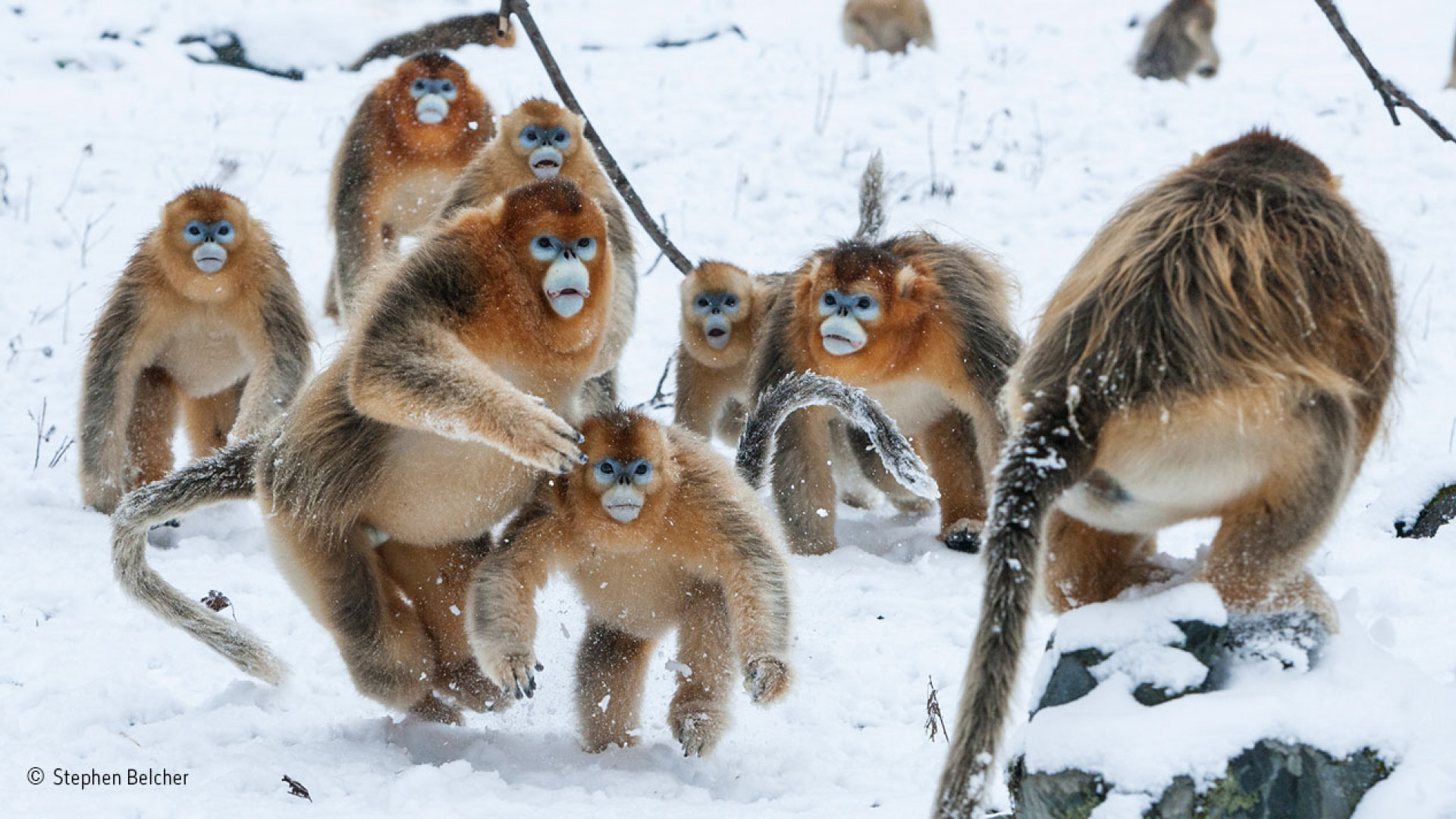 Male snub-nosed monkeys fighting in China