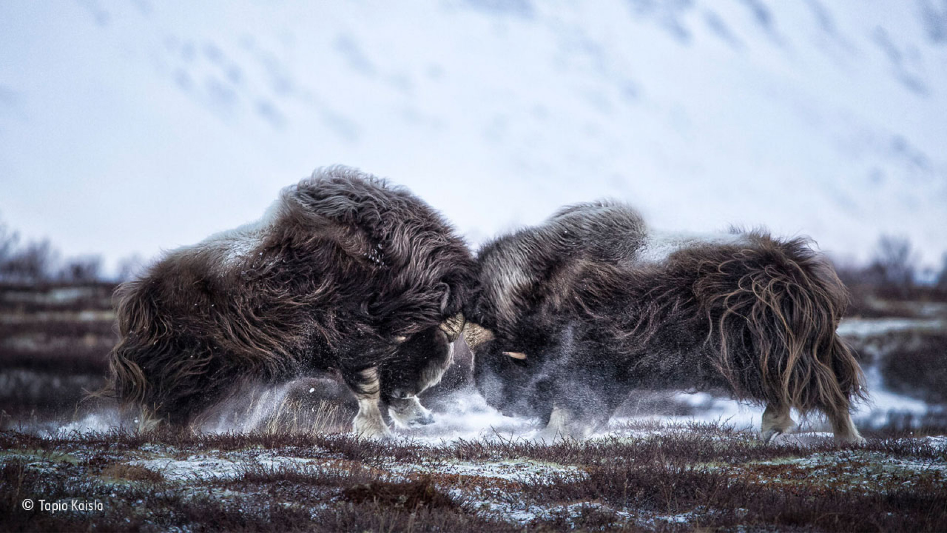 Two Norwegian oxen headbutt one another during the rut