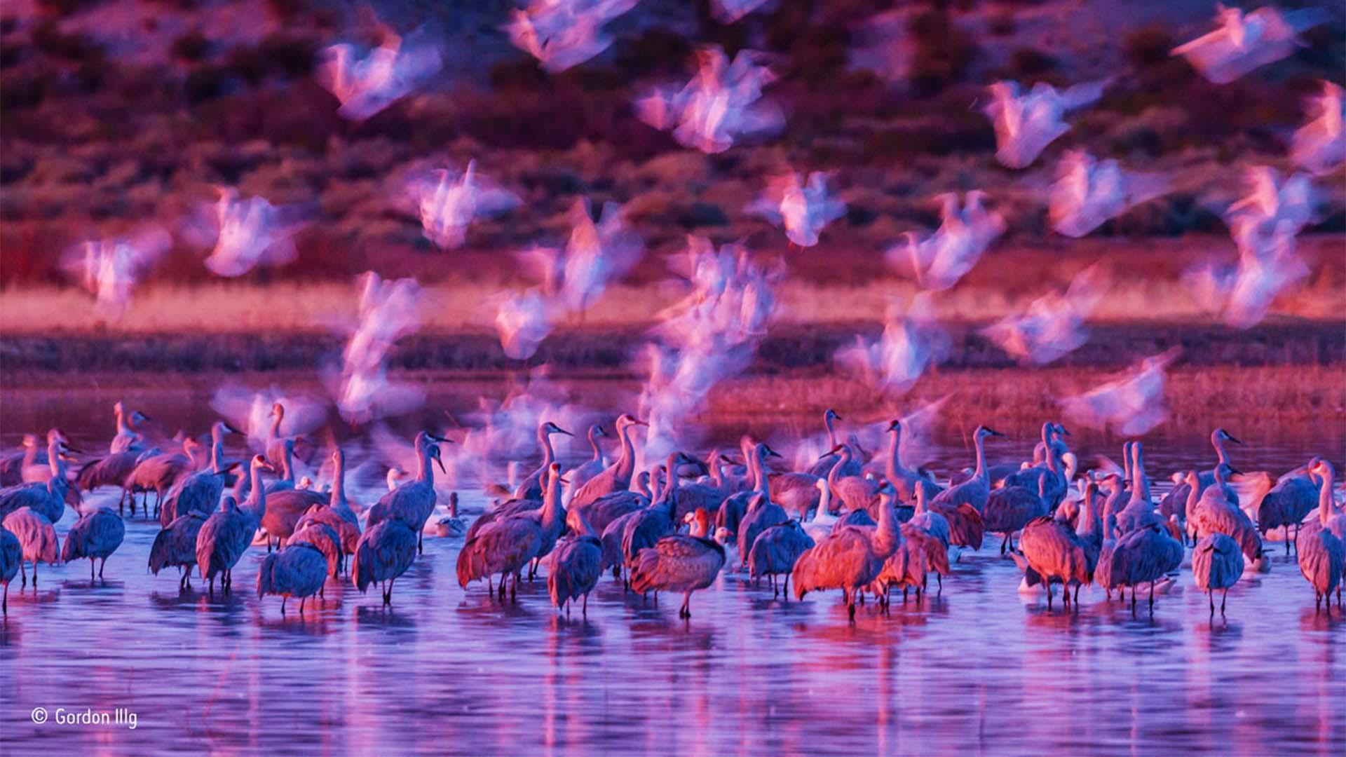 Geese landing beside cranes in a US wildlife refuge