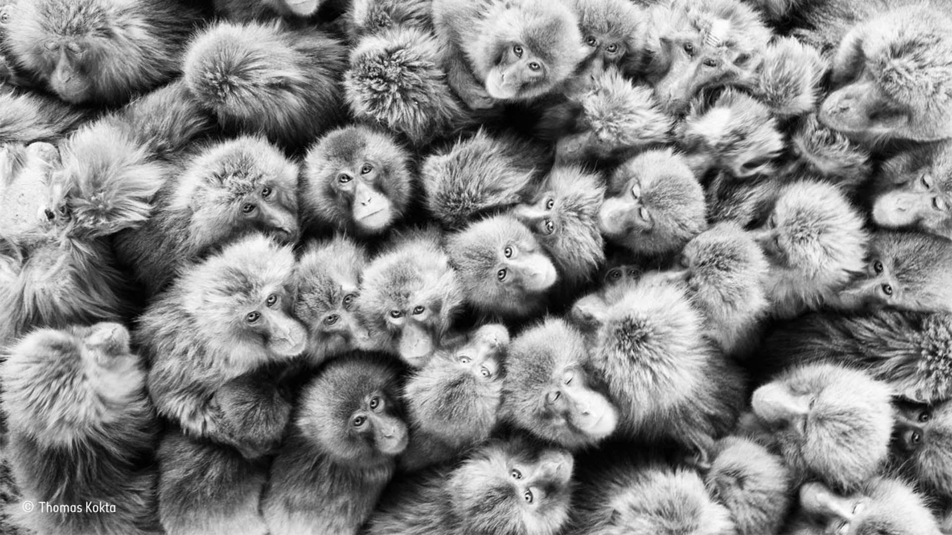 A group of Japanese monkeys huddle together to keep warm