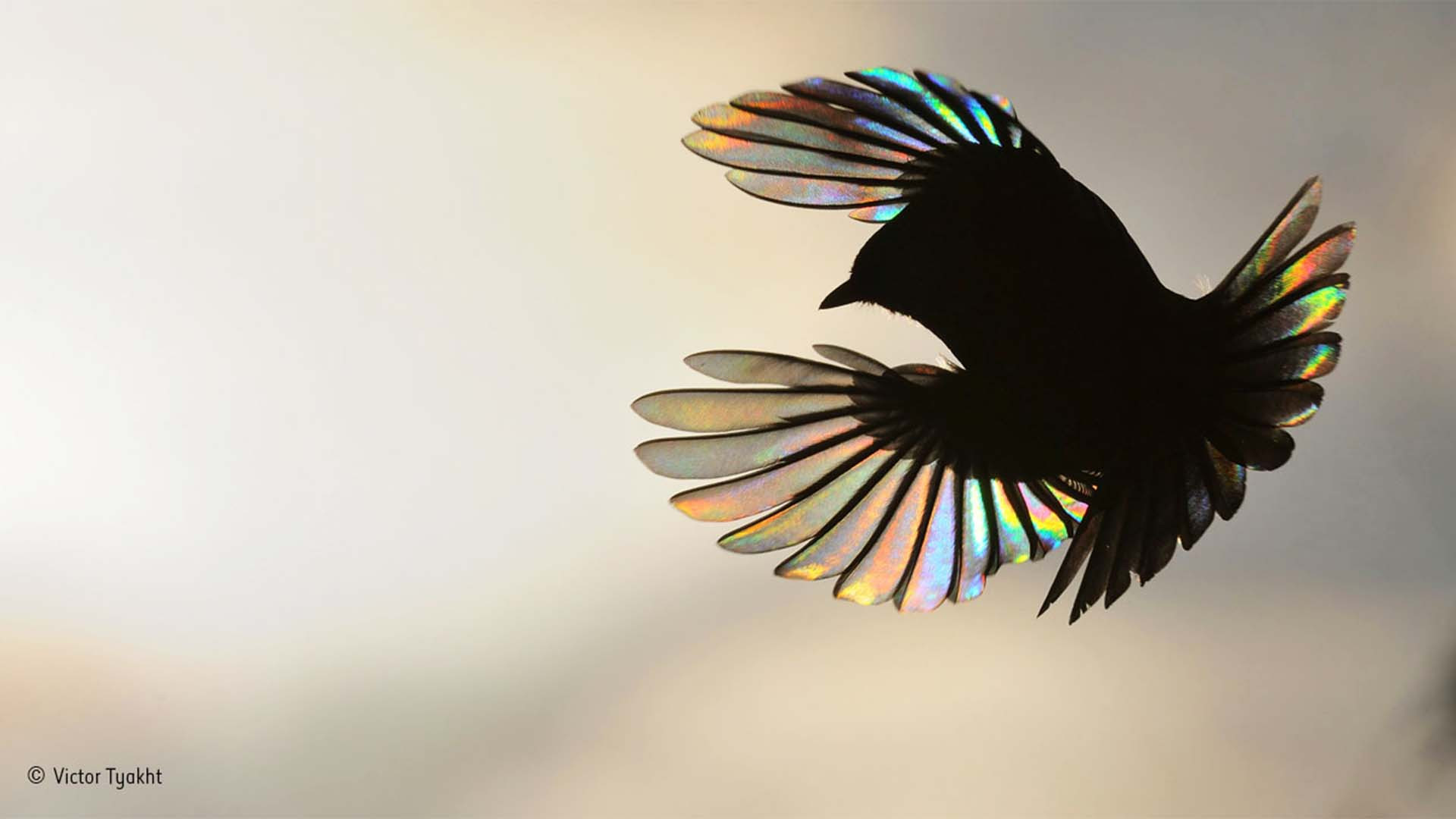 Light glowing through a bird's wings as the body forms a silhouette