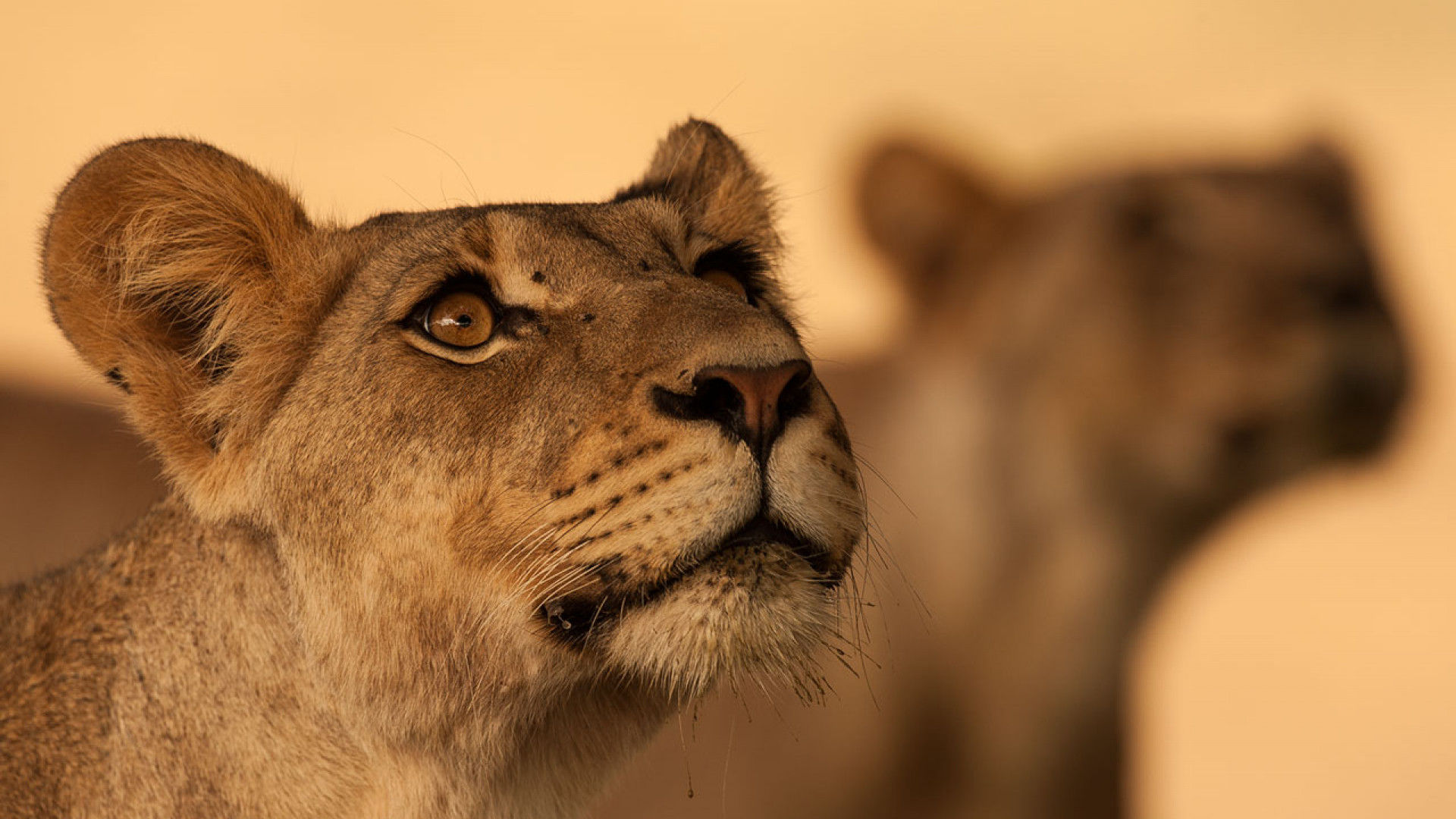 A pair of female lions tracking the scent of males