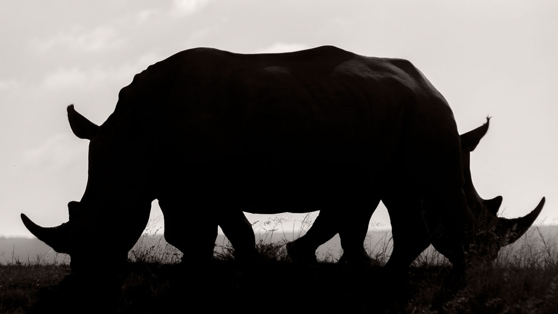 The silhouette of two White rhinoceroses blending to create the illusion of one