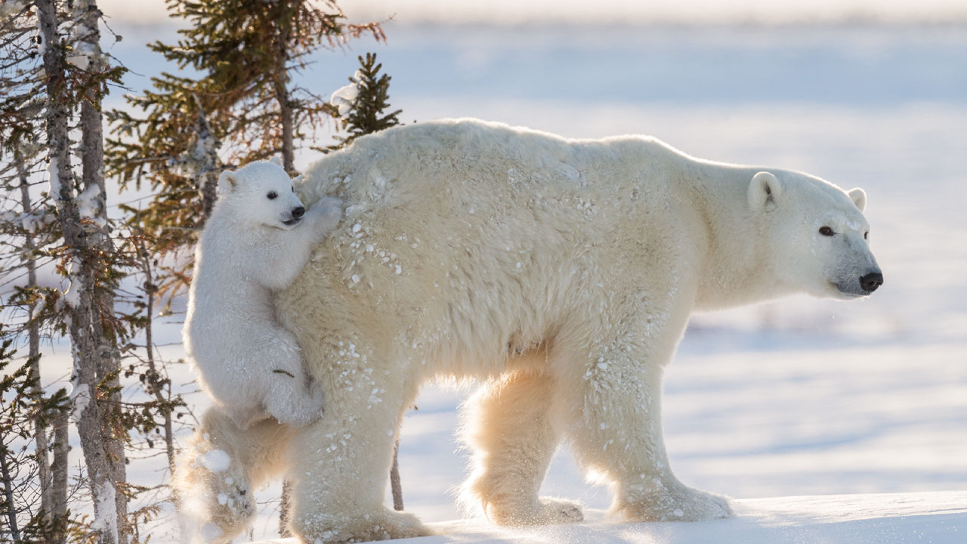 A baby polar bear holding onto its mother