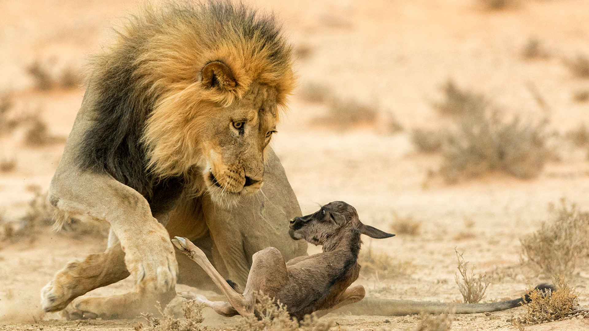 A baby wildebeest being killed by a male lion