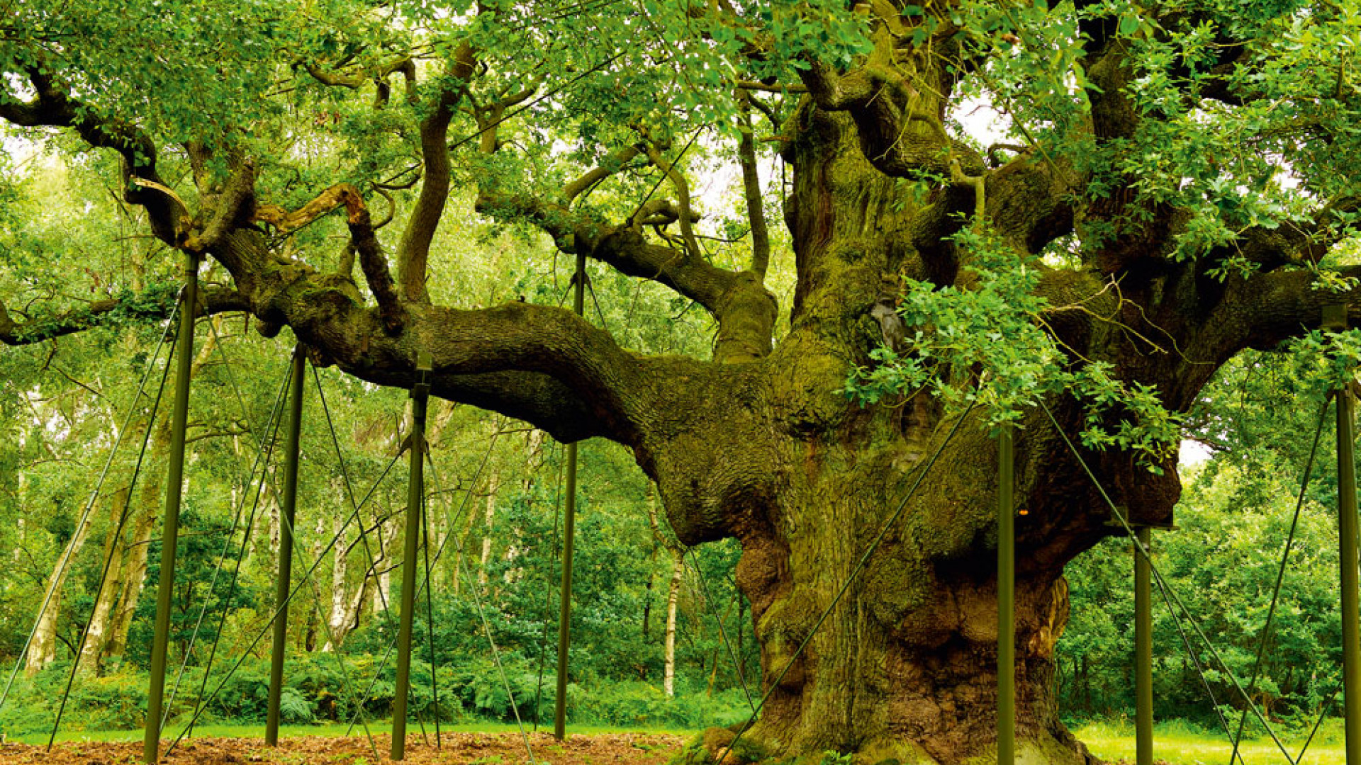 Major Oak, the oldest tree in Sherwood Forest