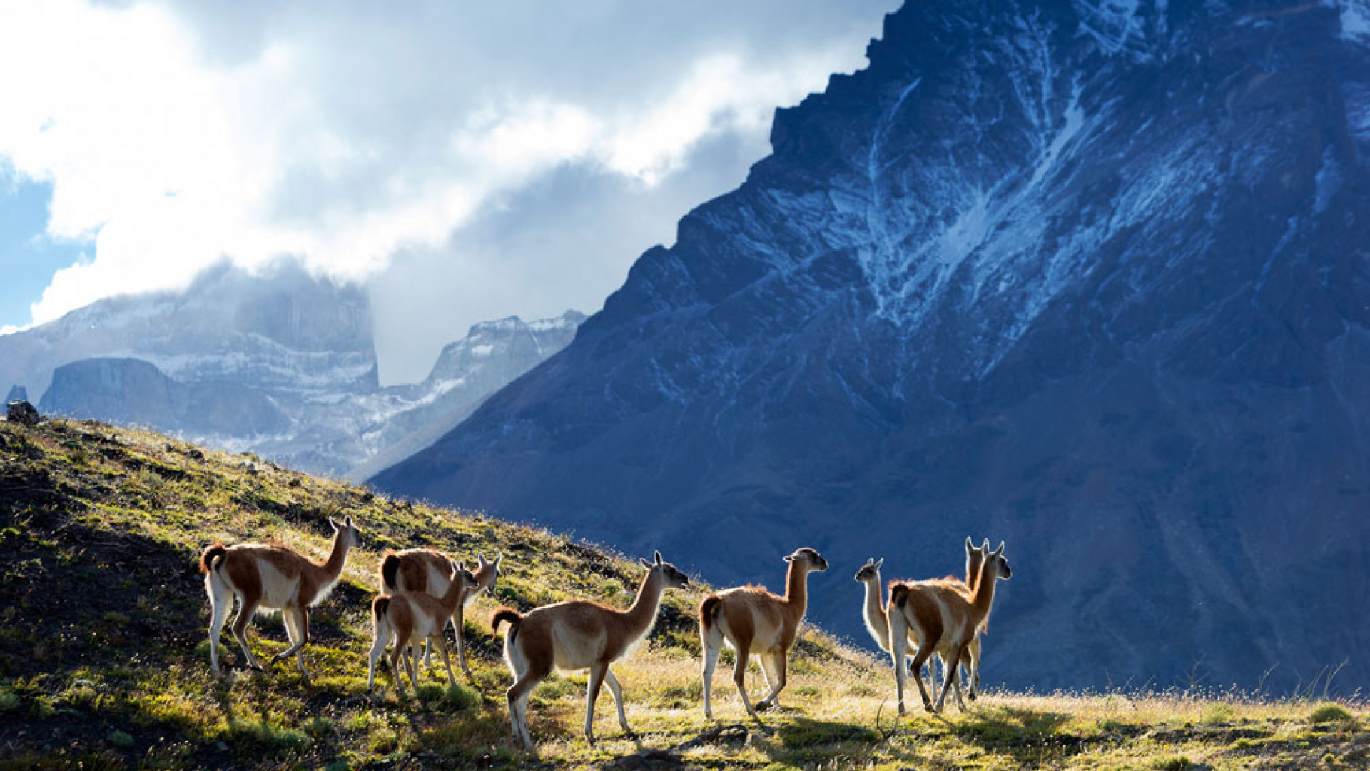 Guanacos in the hill regions of Chilean Patagonia