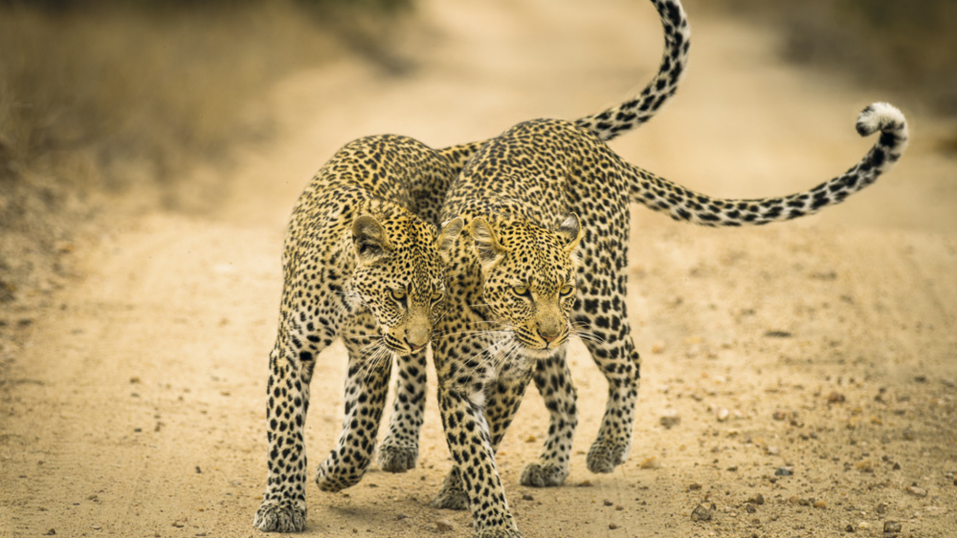 A leopard and her cub in Timbayati Game Reserve, South Africa