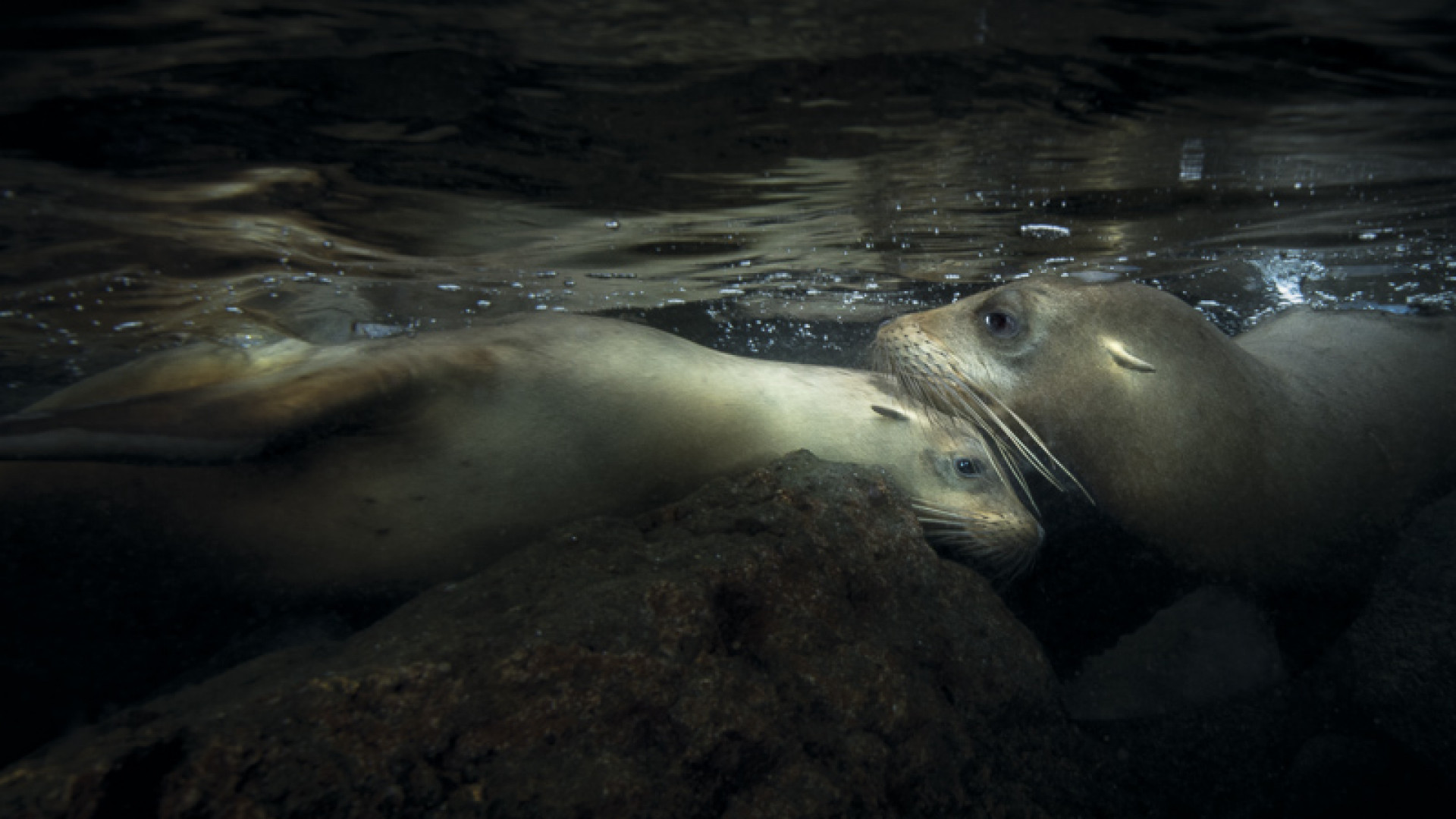 California sea lions under the water in the Galapagos Islands, Ecuador