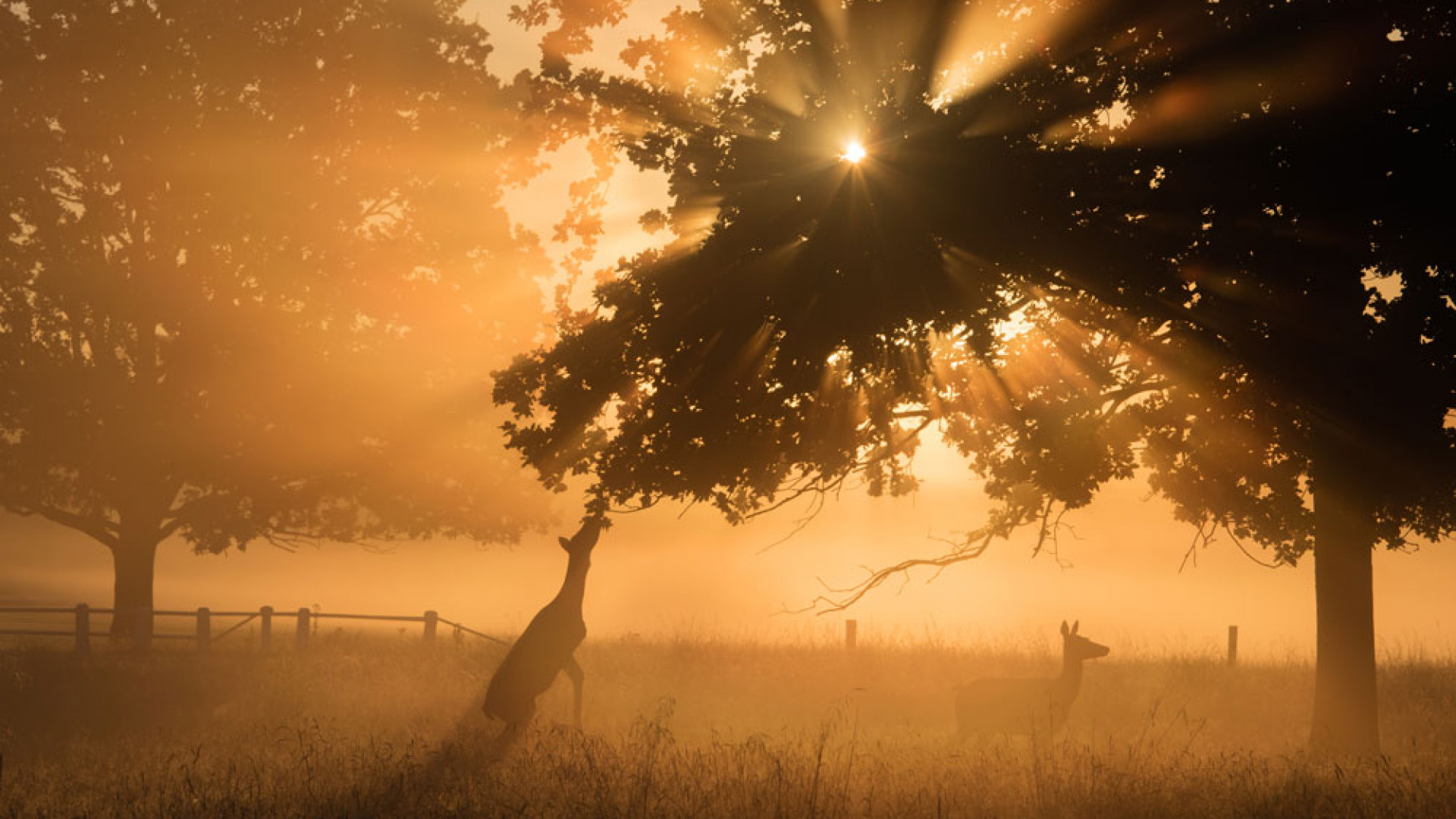 Deer in the early morning sun in Richmond Park, west London
