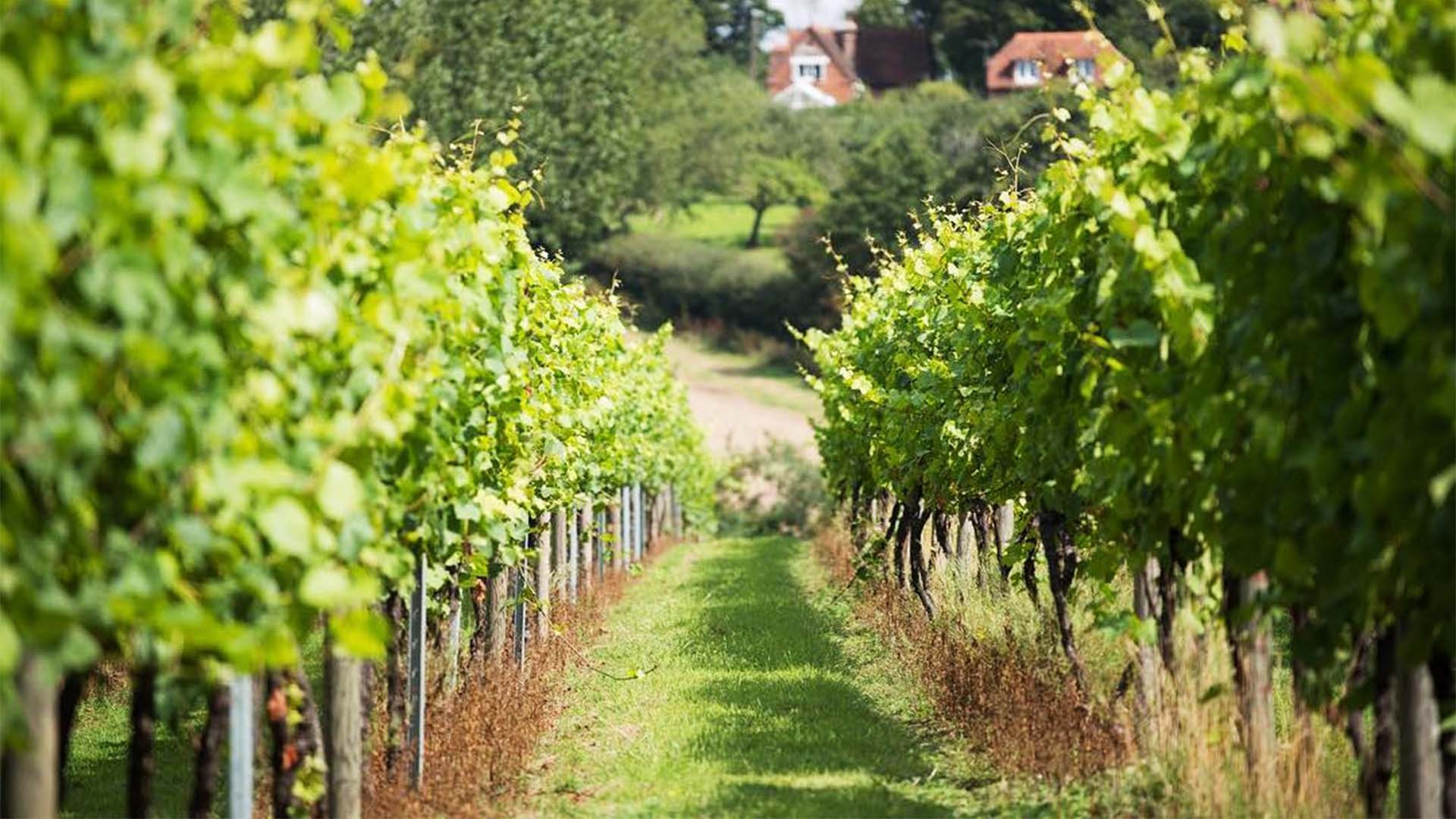 Chapel Down Vineyard, Tenterden, Kent