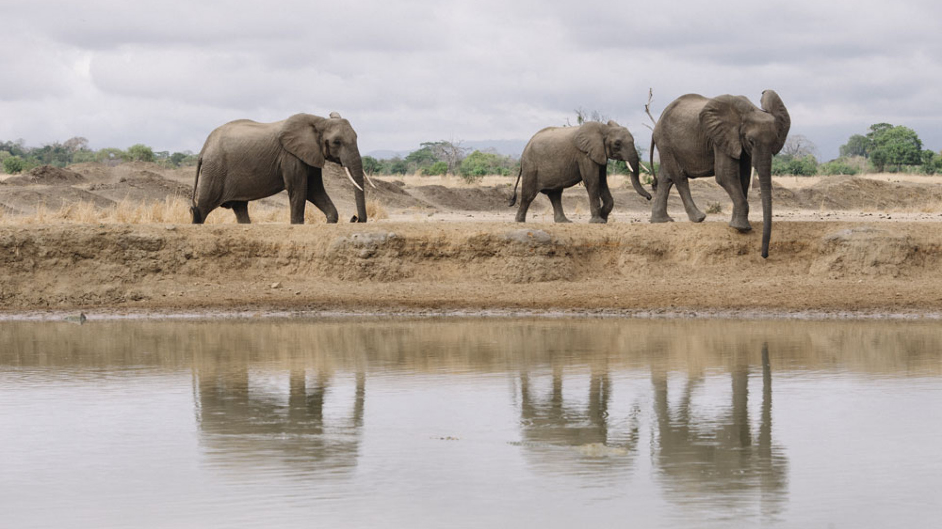 Elephants in the wild, Tanzania