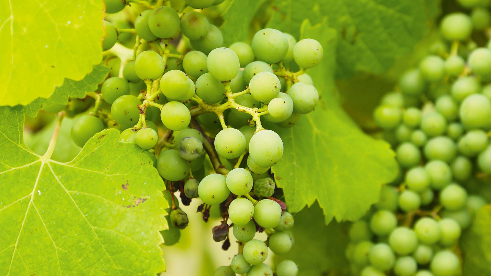 Grapes in a Bordeaux vineyard