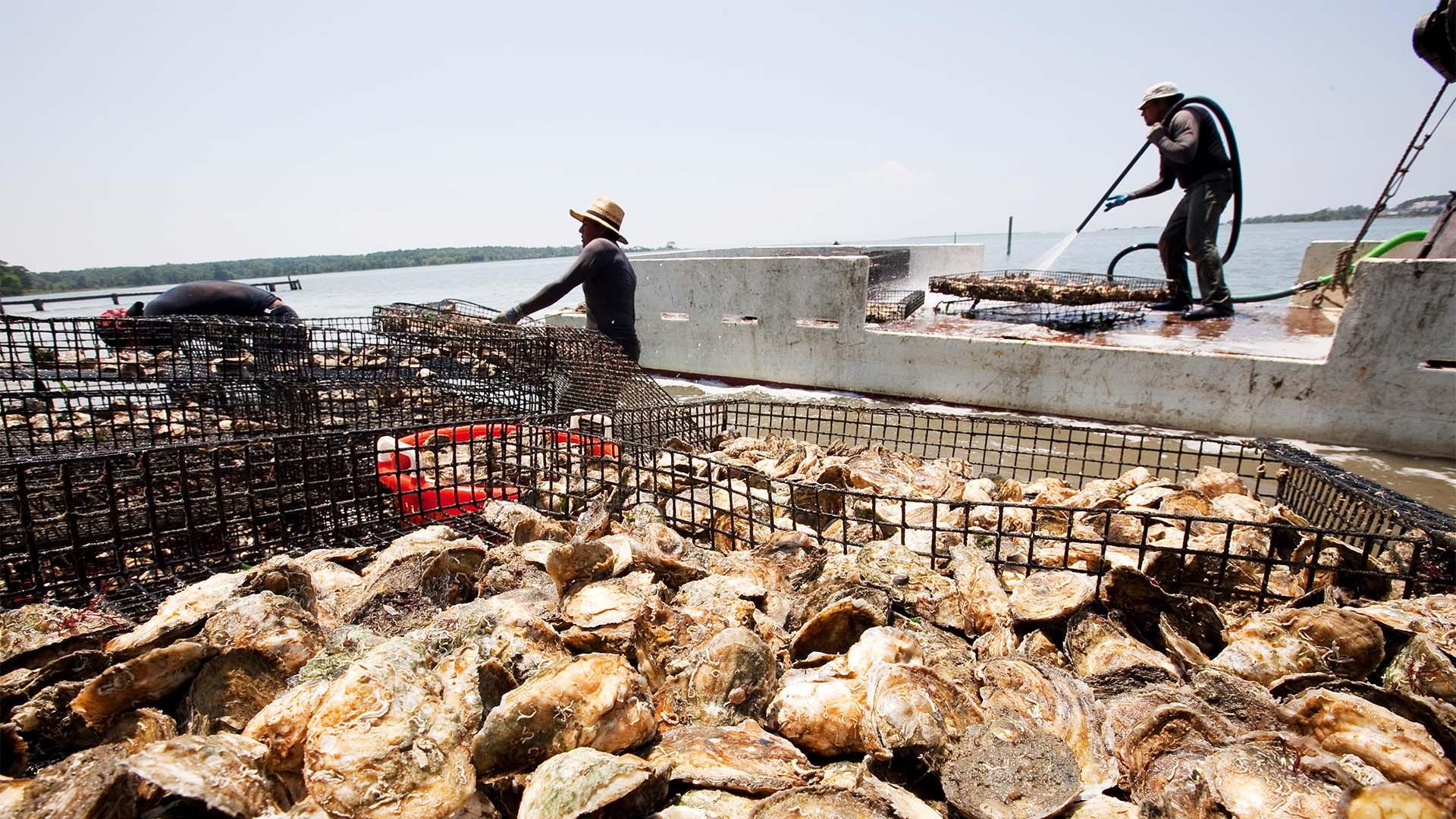 Virignia Oyster Farm, USA