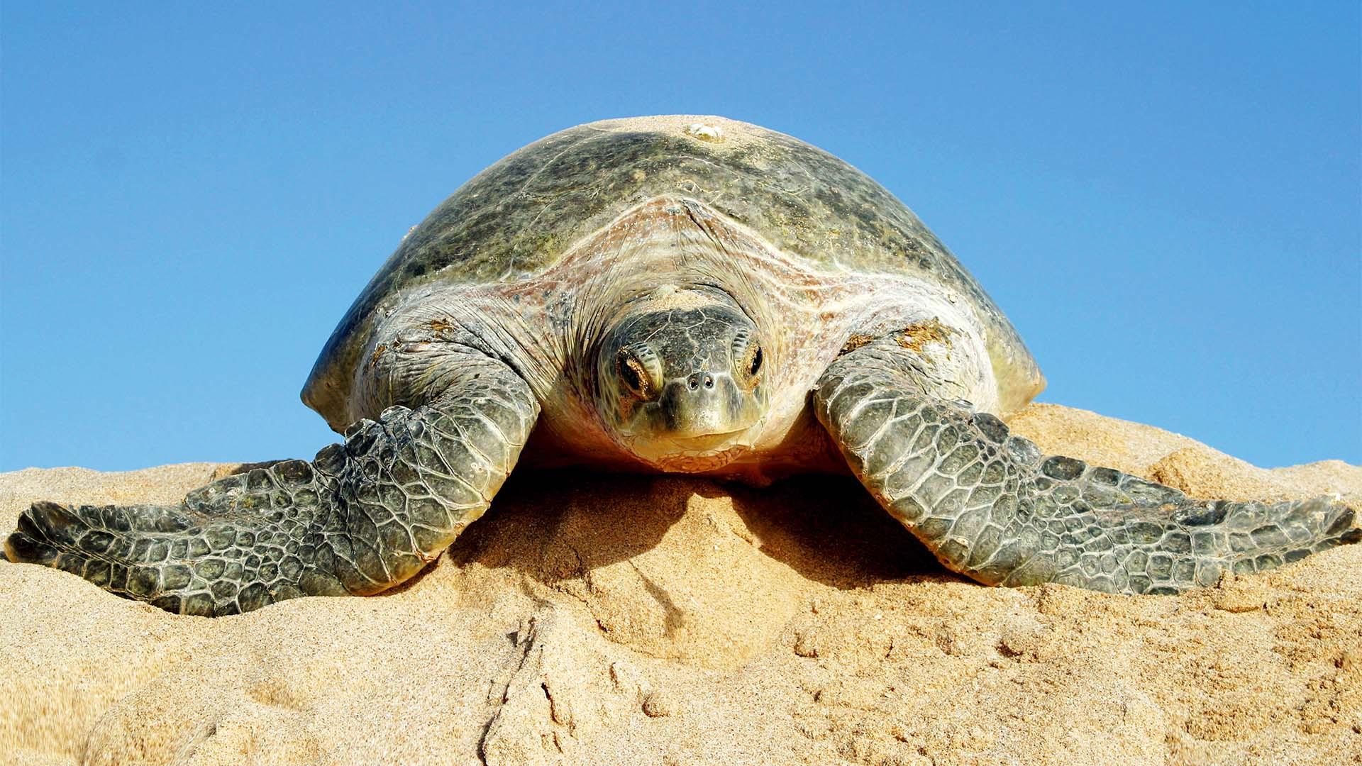 Green turtle at Ras Al Jinz, Oman