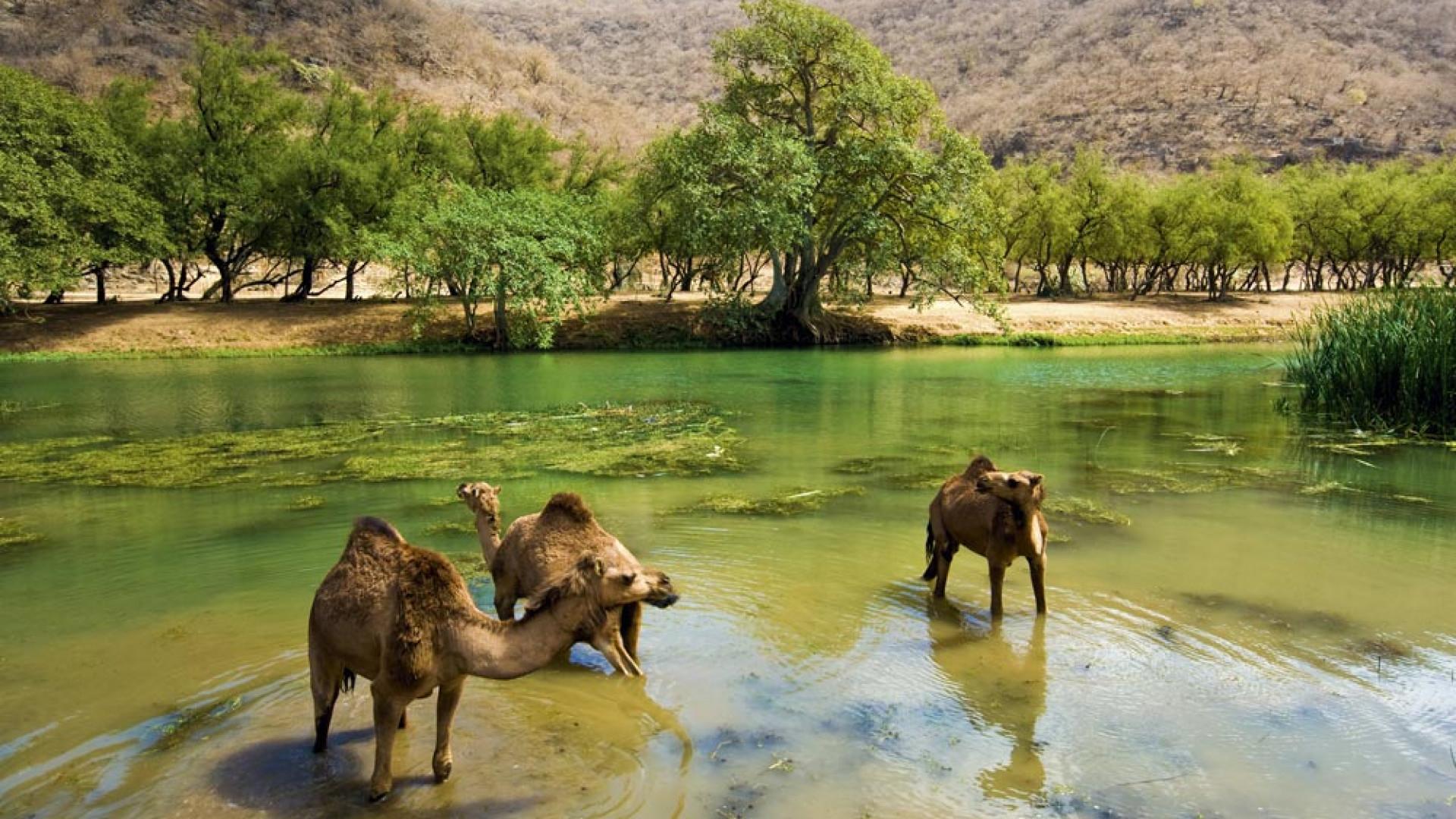 Camels in Wadi Darbat, southern Oman