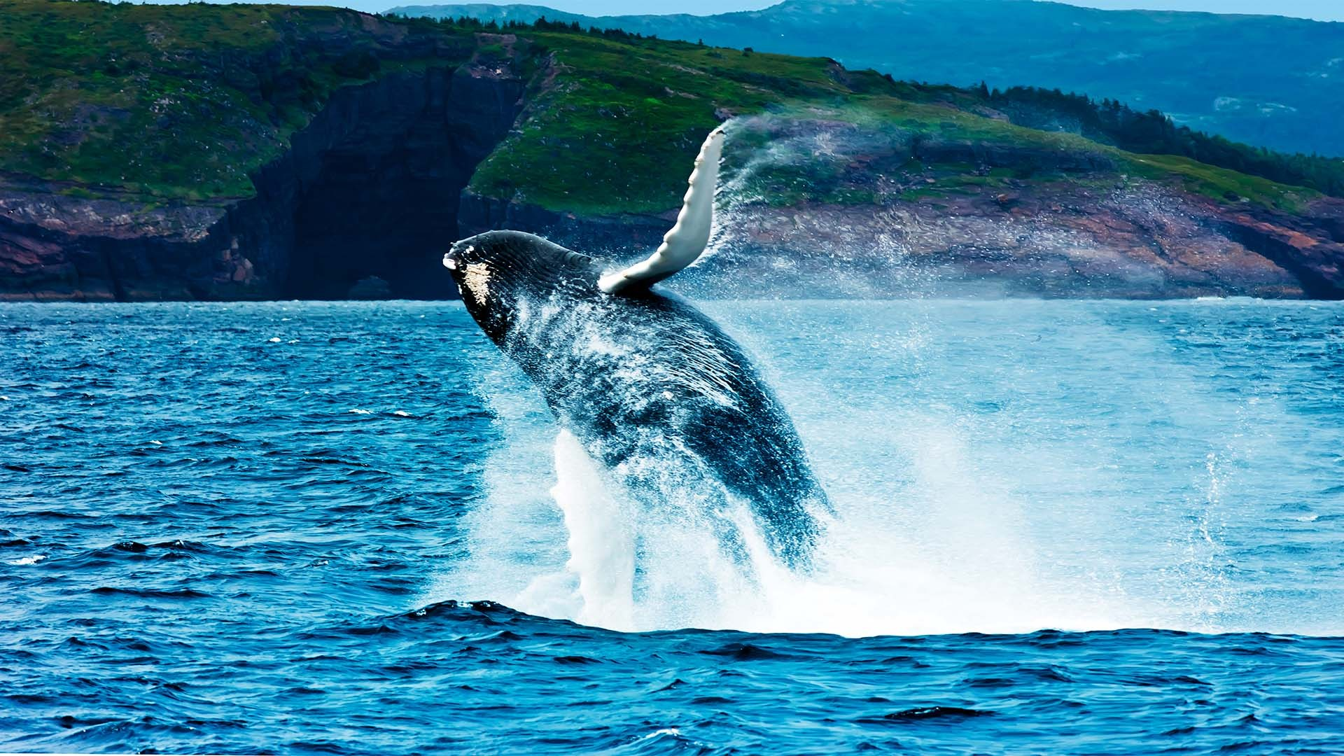 Breaching whale in Newfoundland and Labrador, Canada